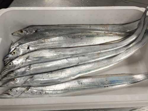 たちうお/タチウオ/太刀魚